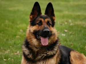 5 razas para perro guardián en el hogar